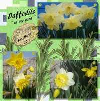 Daffodils in my Yard