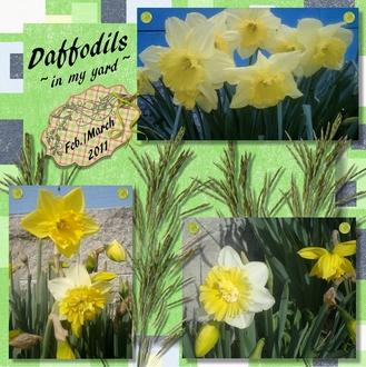 Daffodils in my Yard