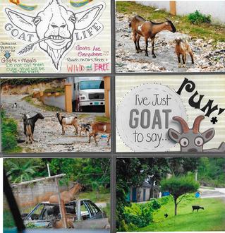 Goat Life- Jamaica