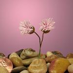 """Pink Starburst Aster Bouquet 1 1/8"""""""