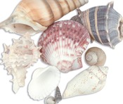Natural - Sea Shell Mixes 10/Pkg