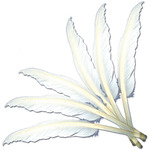 "White - Indian Feathers 10""-12"" 6/Pkg"