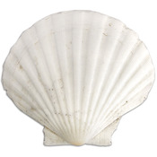 Gathered Clam Shell-