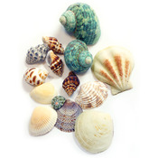 Gathered Sea Shells -