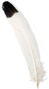 """Tipped - Wing Feathers Large 12"""" 4/Pkg"""