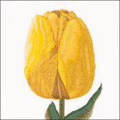 "13.25""X14"" 16 Count - Yellow Hybrid Tulip On Aida Counted Cross Stitch Kit"