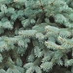 Fresh Pine Paper - Mint Wishes - KaiserCraft