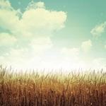 Wheat Fields Paper - Farm Fresh - Reminisce