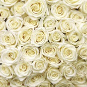 White Roses Paper - Made With Love - Reminisce